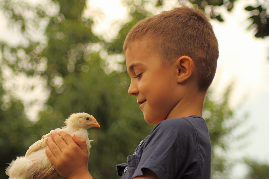 Photograph of a boy holding a young chicken.